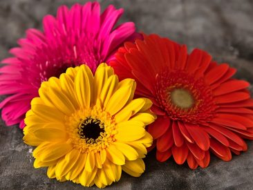 daisies, flowers, still life